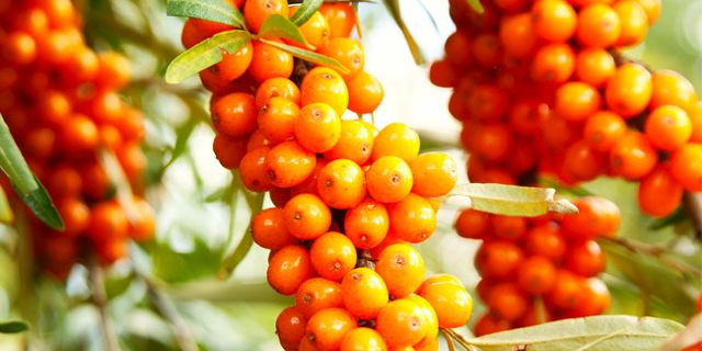 Recipe & Profile: nVigorate Sea Buckthorn Berries
